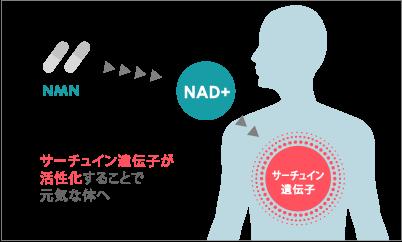 NMNとサーチュイン遺伝子の関係性
