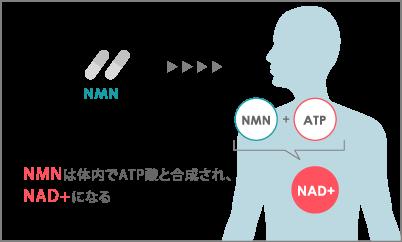 NMNサプリによるサーチュイン遺伝子の活性化